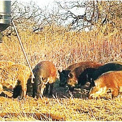 Farmers getting help in battle with feral hogs